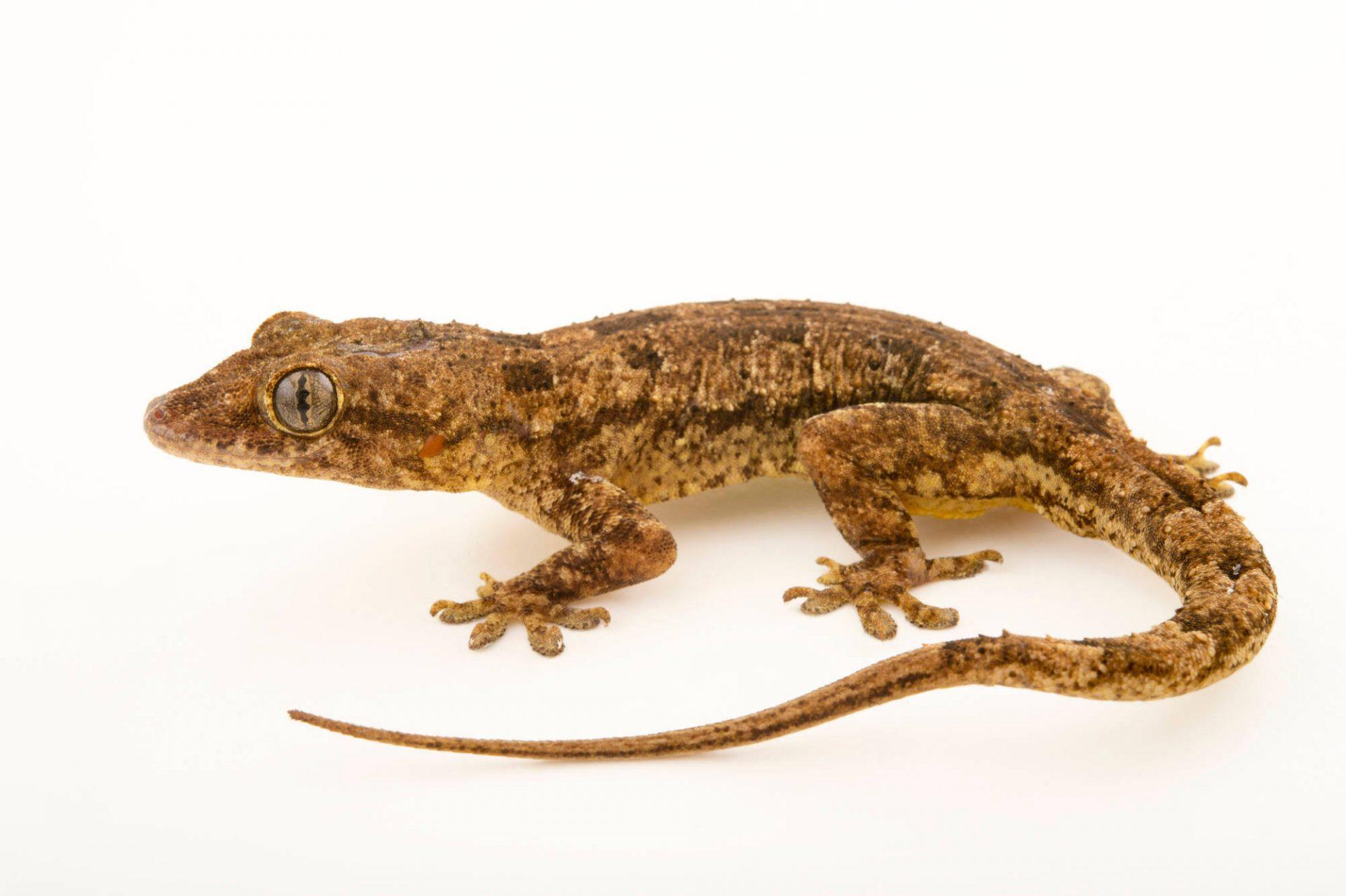Photo: A flathead leaf toed gecko (Hemidactylus platycephalus) at the Plzen Zoo.