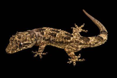 Photo: A Gray's leaf toed gecko (Hemidactylus mercatorius) at the Plzen Zoo.