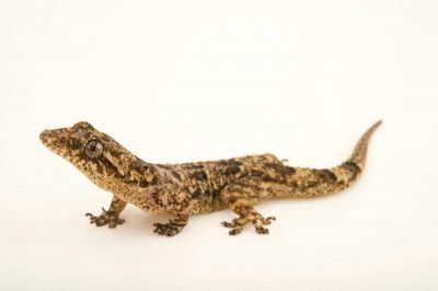 Photo: A Gray's leaf toed gecko (Hemidactylus mercatorius) at the Plzen Zoo.