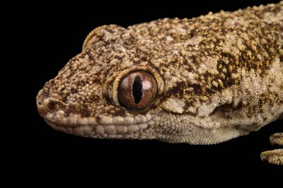 Photo: A Grandidier's velvet gecko (Blaesodactylus sakalava) at the Plzen Zoo.