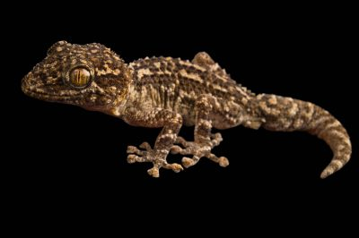 Photo: A Mocquard's Madagascar ground gecko (Paroedura aff. bastardi) at the Plzen Zoo.