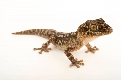 Photo: A Mocquard's Madagascar ground gecko (Paroedura aff. bastardi) at the Plzen Zoo.