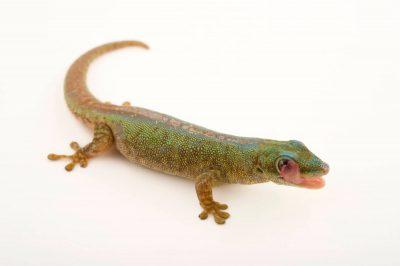 Photo: A Robert Mertens' day gecko (Phelsuma robertmertensi) at the Plzen Zoo.