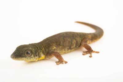 Photo: A Grand Comoro day gecko (Phelsuma v nigra comoraegrandensis) at the Plzen Zoo.