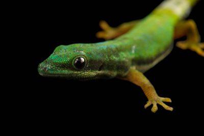 Photo: An Island day gecko (Phelsuma nigristriata) at the Plzen Zoo.
