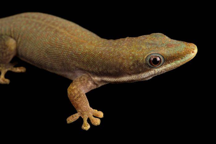 Photo: A Hielscher's day gecko (Phelsuma hielscheri) at the Plzen Zoo.