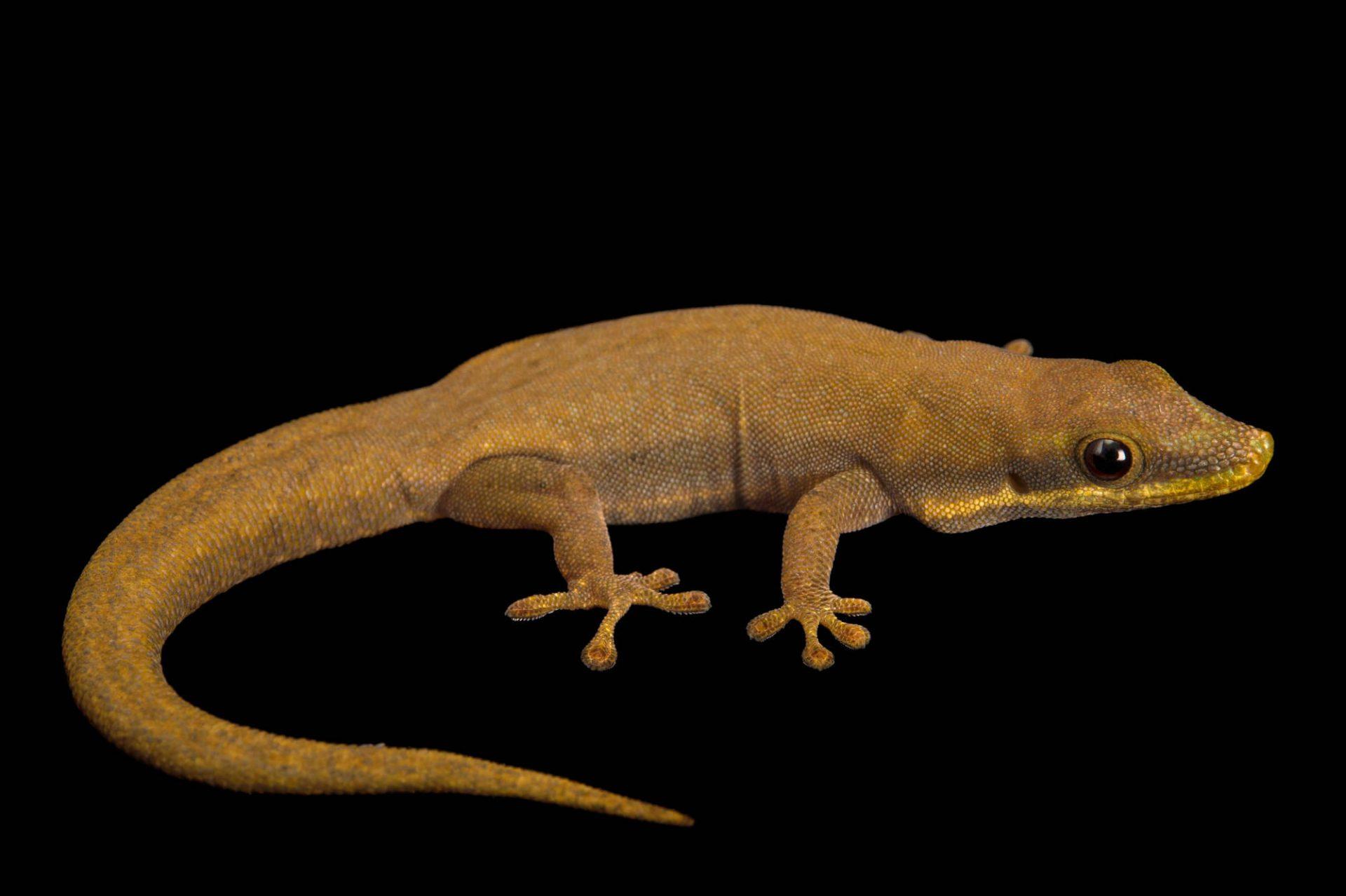 Photo: A modest day gecko (Phelsuma modesta isakae) at the Plzen Zoo.