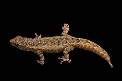 Photo: A Madagascar dwarf gecko (Lygodactylus cf. madagascariensis) at the Plzen Zoo.