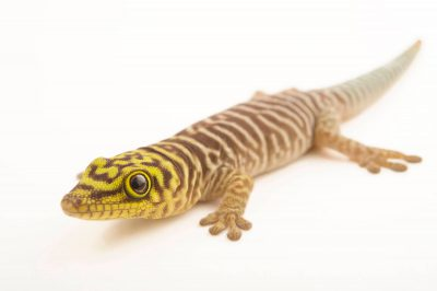 Photo: A juvenile Standing's day gecko (Phelsuma standingi) at the Plzen Zoo.