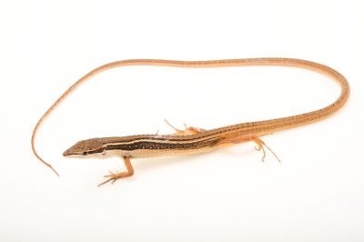 Photo: Asian grass lizard (Takydromus sexlineatus) from a private collection.