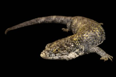 Photo: Mixtecan alligator lizard (Abronia mixteca) at the San Antonio Zoo. This species is listed as vulnerable.