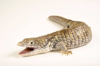Photo: Oaxacan alligator lizard (Abronia oaxacae) at the San Antonio Zoo. This species is listed as vulnerable.