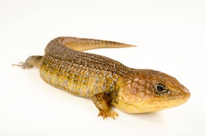 Photo: Northern Mexican Alligator lizard (Barisia imbricata) at the San Antonio Zoo.