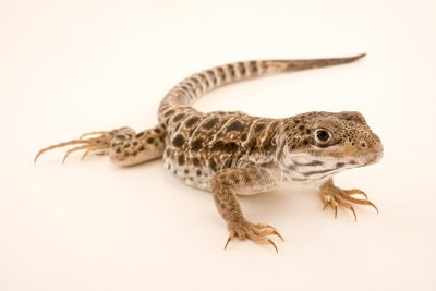 Photo: Long nosed leopard lizard (Gambelia wislizenii) at Malacca Butterfly and Reptile Sanctuary.