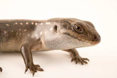 Photo: A guthega skink (Liopholis guthega) at Healesville Sanctuary in Victoria, Australia.