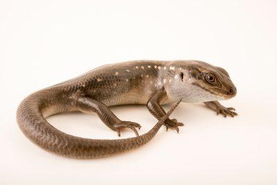 Photo: Guthega skink (Liopholis guthega) at Healesville Sanctuary.