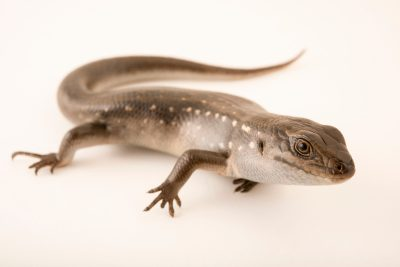Photo: Guthega skink (Liopholis guthega) at Healesville Sanctuary.