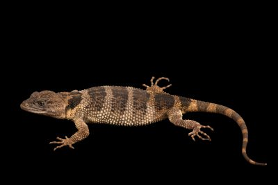 Photo: An endangered flathead knob-scaled lizard (Xenosaurus platyceps) from a private collection.