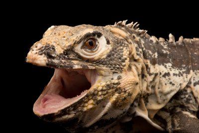 Photo: Honduran club-tail iguana (Ctenosaura palearis) at the Sacramento Zoo.