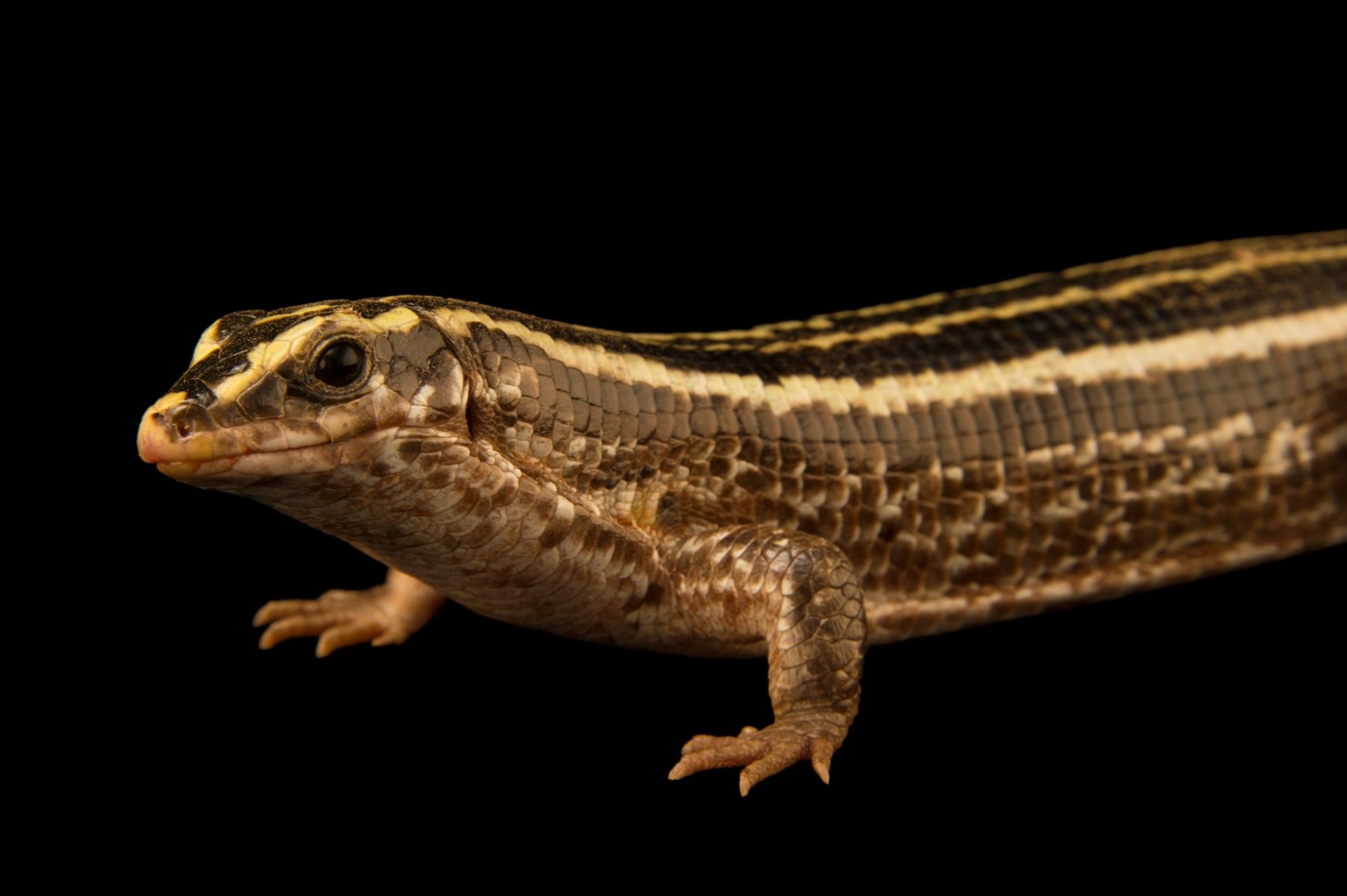 Photo: A four striped girdled lizard, Zonosaurus quadrilineatus, at Tsimbazaza Zoo.