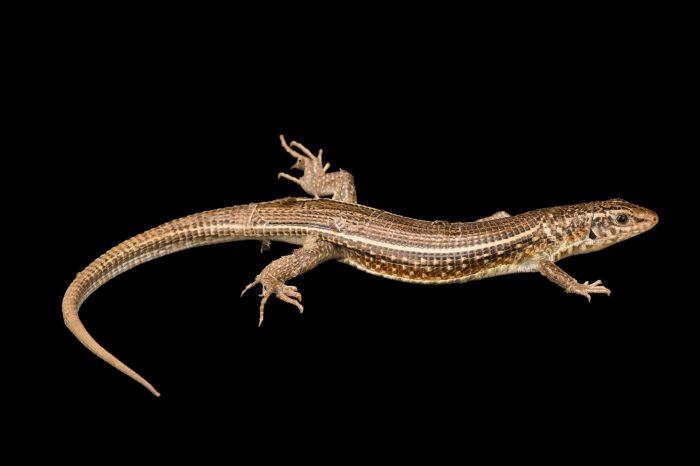 Photo: An ornate girdled lizard, Zonosaurus ornatus, at Tsimbazaza Zoo.