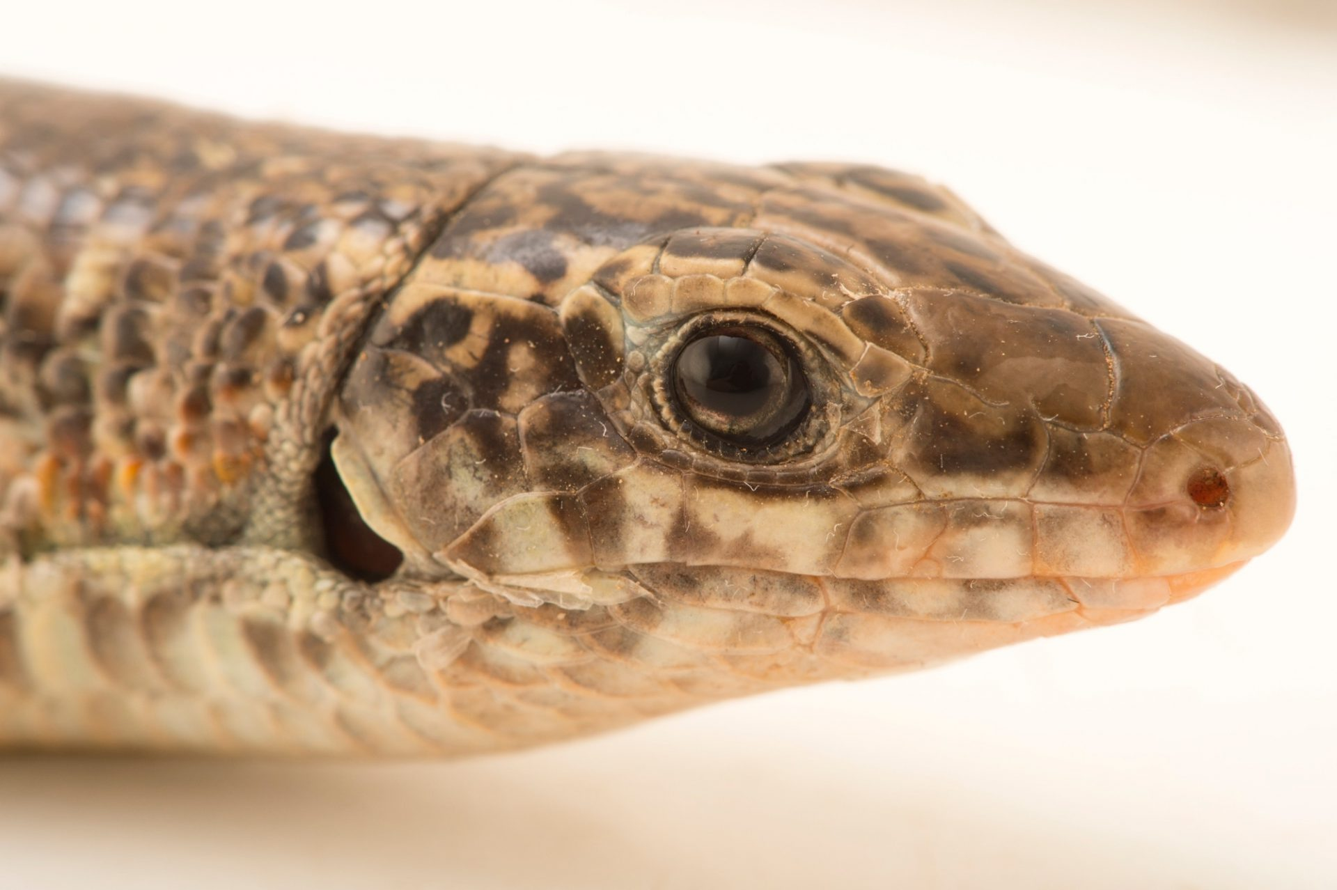 Photo: An ornate girdled lizard, Zonosaurus ornatus, at Tsimbazaza Zoo.