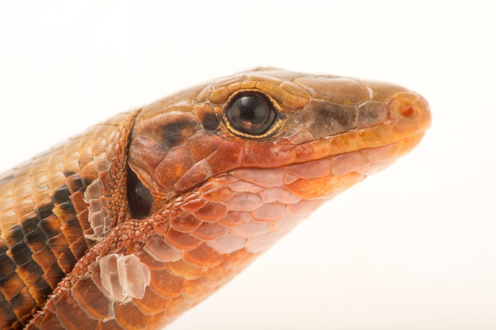 Photo: An Madagascar girdled lizard, Zonosaurus madagascariensis, at Tsimbazaza Zoo.