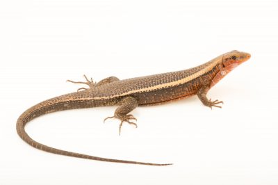 Photo: An Madagascar girdled lizard, Zonosaurus madagascariensis, at Tsimbazaza Zoo.
