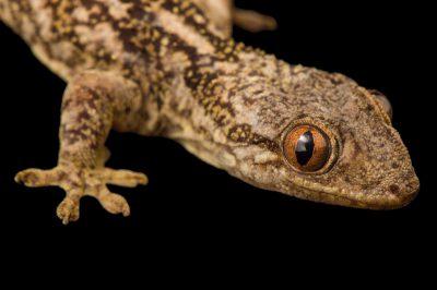 Photo: A lined day gecko, Phelsuma lineatus, at Tsimbazaza Zoo.