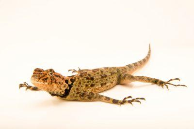 Photo: Collared tree lizard (Plica plica) at the London Zoo.