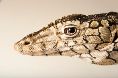 Photo: Perentie (Varanus giganteus) at the Los Angeles Zoo.