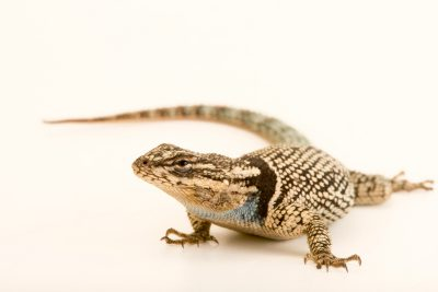 Photo: YarrowÕs spiny lizard or mountain spiny lizard (Sceloporus jarrovi) at the Los Angeles Zoo.