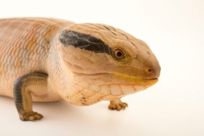 Photo: A central blue-tongued skink (Tiliqua multifasciata) at the Dallas Zoo.