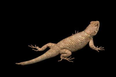 Photo: Western fence lizard (Sceloporus occidentalis) at Nebraska Wildlife Rehab.