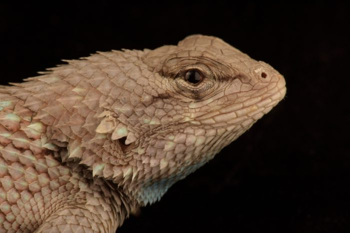 Photo: Western fence lizard (Sceloporus occidentalis) at Nebraska Wildlife Rehab.