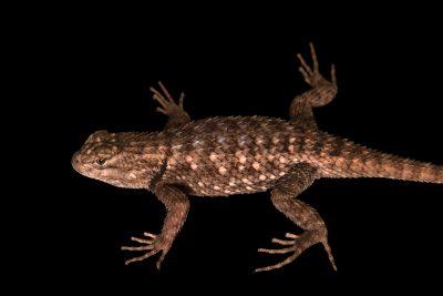 Photo: Clark's spiny lizard (Sceloporus clarkii) at Liberty Wildlife.