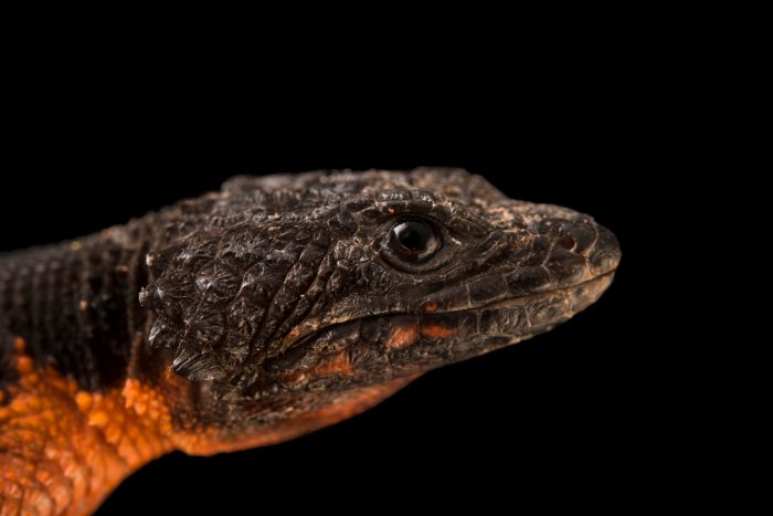 Photo: Warren's girdled lizard (Smaug warreni) at the Phoenix Zoo.