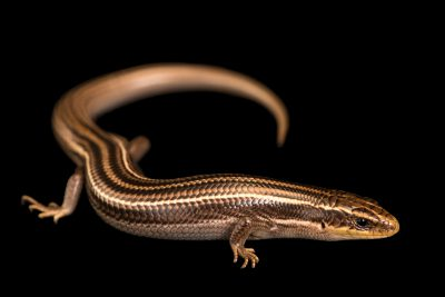 Photo: Many-lined skink (Plestiodon multivirgatus) from a private collection.