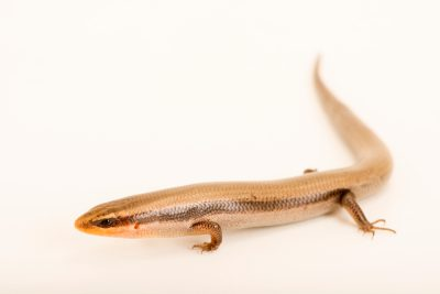 Mountain skink (Plestiodon callicephalus) from a private collection.