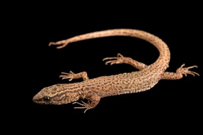 Photo: Arizona night lizard (Xantusia arizonae) from a private collection.