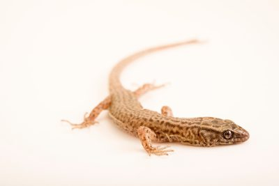 Photo: Arizona night lizard (Xantusia arizonae) from a private collection.