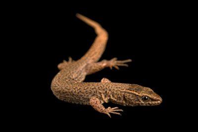 Photo: Desert night lizard (Xantusia vigilis) from a private collection.