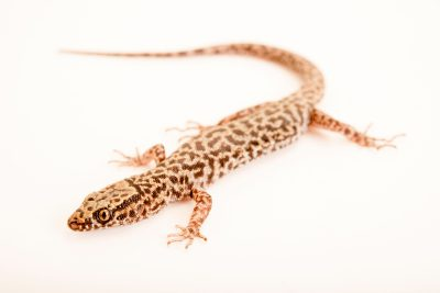 Photo: Bezy's night lizard (Xantusia bezyi) from a private collection.