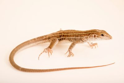 Photo: Gila spotted whiptail (Aspidoscelis flagellicauda) from a private collection.