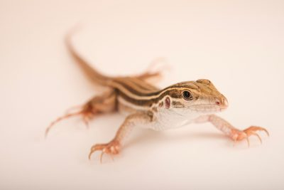 Photo: A juvenile Canyon spotted whiptail (Aspidoscelis burti) from a private collection.