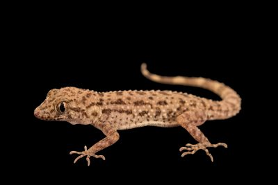 Photo: Rough-tailed bowfoot gecko (Cyrtopodion scabrum) from a private collection.
