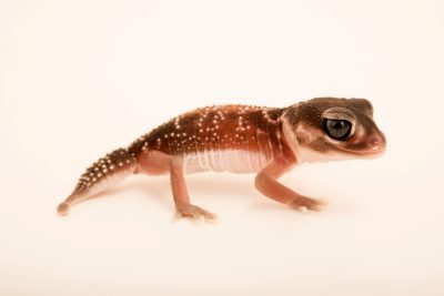 Photo: Smooth knob-tailed gecko (Nephrurus levis) from a private collection.