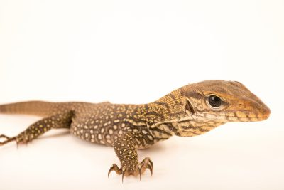 Photo: Two month old clouded monitor (Varanus nebulosus) at the Singapore Zoo.