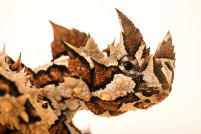 Photo: Thorny devil (Moloch horridus) from the Melbourne Museum.