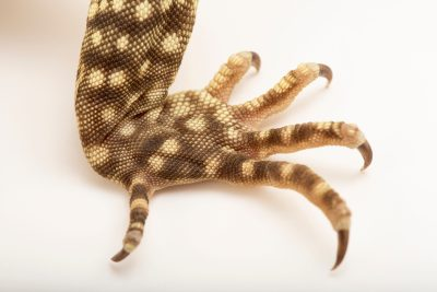 Photo: Yellow spotted monitor (Varanus panoptes) from a private collection.